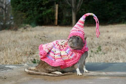 Wizard rat Wormtail, AKA Peter Pettigrew poses in a Weasley knitted pink wizard's hat